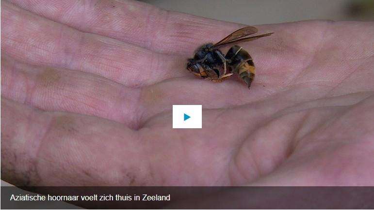 Hobby-imker uit de Schoondijke gemeente Sluis Zeeuws-Vlaanderen: 'Ik zag een onbekende insect mijn bijen aanvallen'